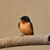 A Barn Swallow sitting on a pipe located near the LA River