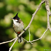 A Red-whiskered Bulbul with a bee in its beak. This bird had a nest nearby and was catching insects to feed its offspring.