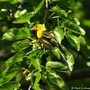 A juvenile male Western Tanager in a Mulberry tree