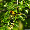 A male Western Tanager in a Mulberry tree