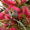 "White-crowned Sparrow in a ""Perth Pink"" bottle bush"