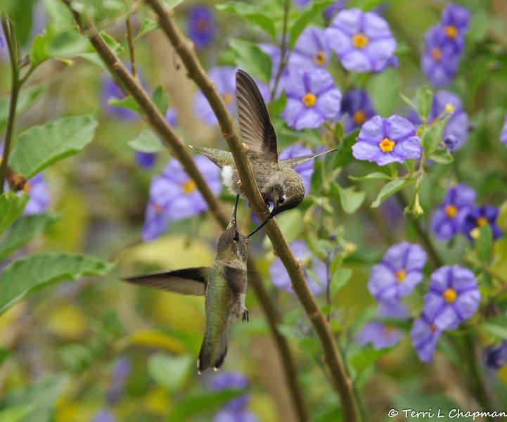 Two Anna's Hummingbirds fighting over territory in a Blue potato bush