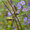 Two Anna's Hummingbirds fighting over territory in a Blue potato bush