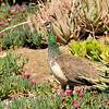 A female peahen taking a walk through the succulent garden at the LA Arboretum