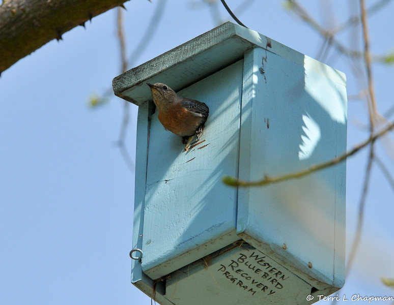 A female Western Bluebird exiting the nestbox after feeding her young