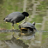 An American Coot pestering a Red-earred Slider Turtle. They were both hanging out on a fallen Palm frond in a lake and the Coot wanted the turtle gone!