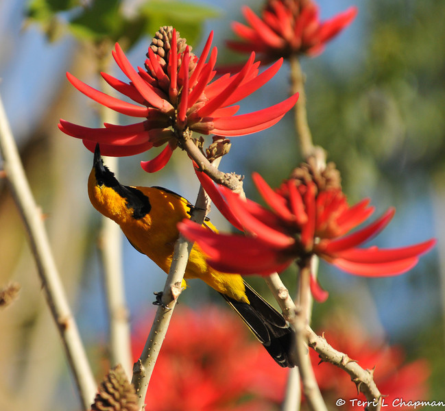 A male Hooded Oriole sipping the nectar of a Naked Coral Tree bloom