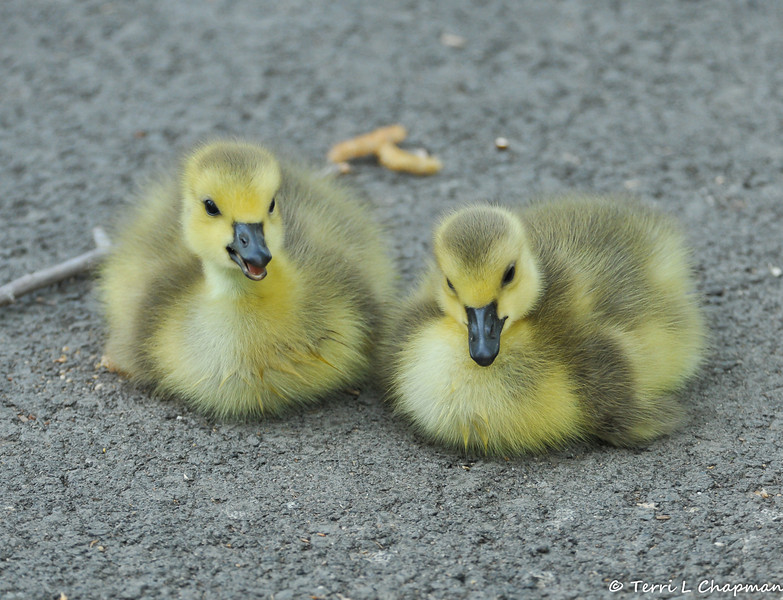 Canada Goose Goslings taking a rest. Their mother laid 7 eggs (the previous photograph shows the nest with eggs), but these were the only two goslings to hatch