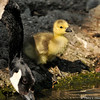 A newborn Canada Goose Gosling with his mother