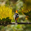 A male Bullock's Oriole perched on a Century Plant
