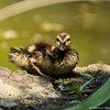 A Mallard Duckling taking a breif rest after grooming its feathers after taking a swim