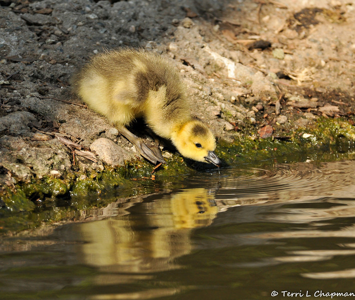 A newborn Canada Goose Gosling taking a drink