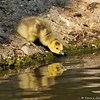 A newborn Canada Goose Gosling taking a drink