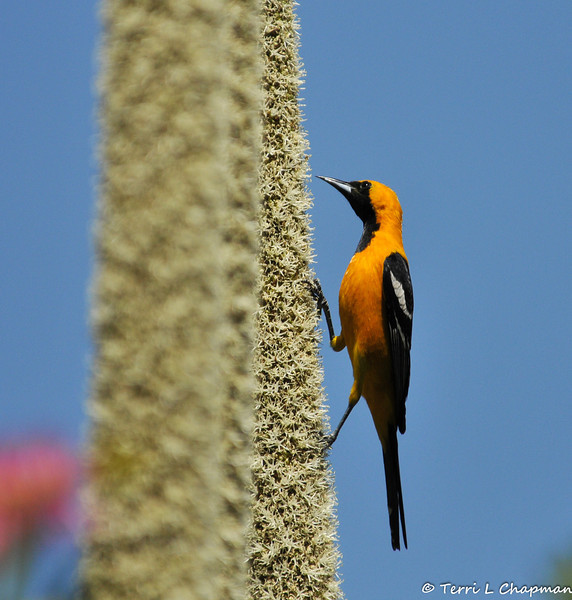 A Hooded Oriole sipping nectar from a Grass Tree, which is native to Southern Australia