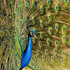 A male Indian Peacock displaying his feathers