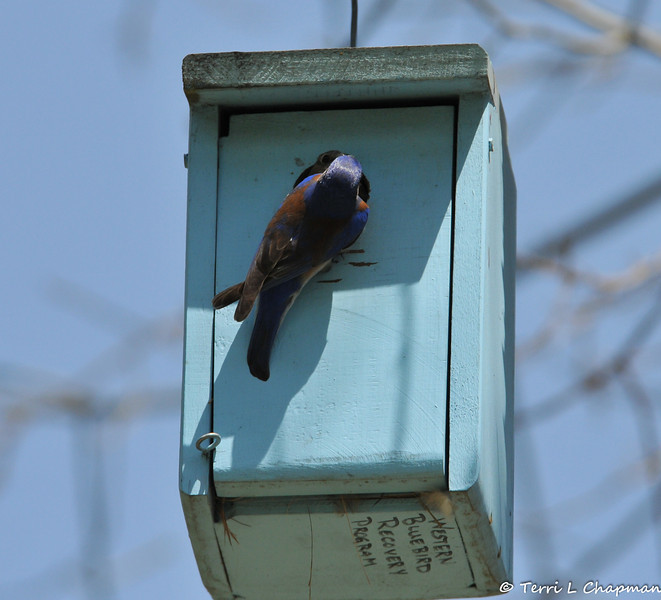 A male Western Bluebird passing food to the female bluebird that is in the nestbox and ready to feed the offspring