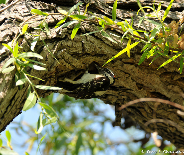 A male Downey Woodpecker getting ready to enter its nest cavitiy to feed its young.