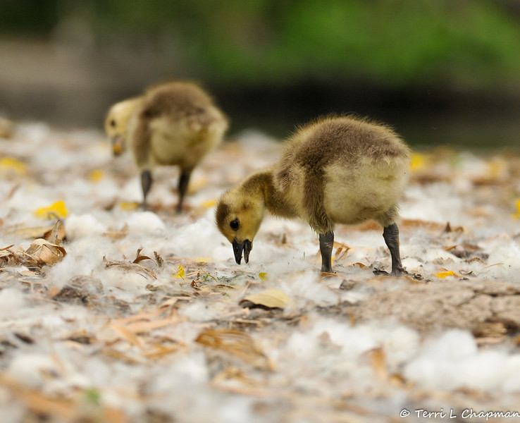 Two Goslings walking through silk floss that had dropped from the trees in the area