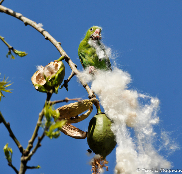 A free flying Yellow-chevroned Parakeet eating the seeds out of a Floss Silk Tree pod