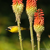 A Common Yellow-throat perched on a Hot poker