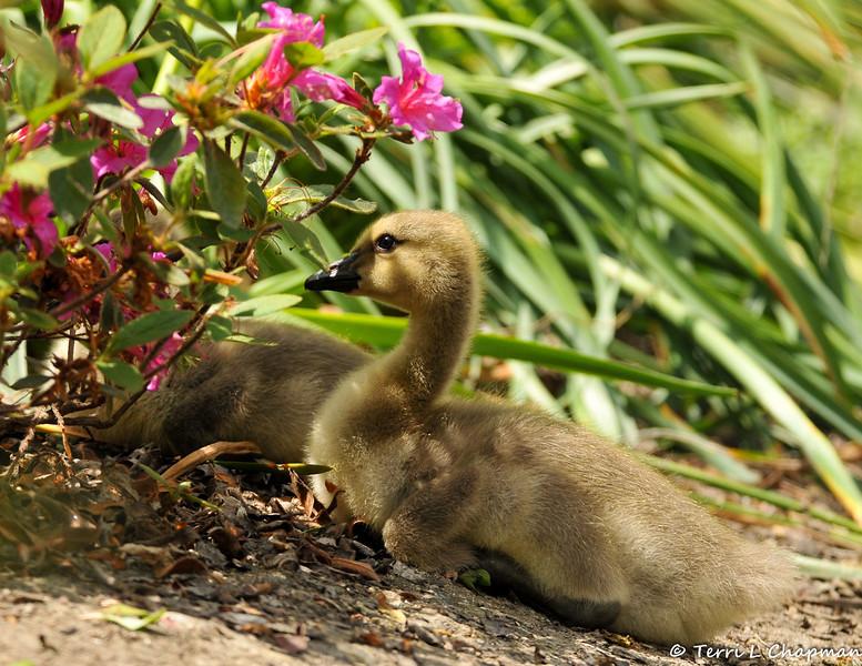 Goslings resting by an Azalea bush
