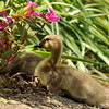 Goslings resting by an Azalea bush