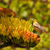 A female Bullock's Oriole perched on a Century Plant