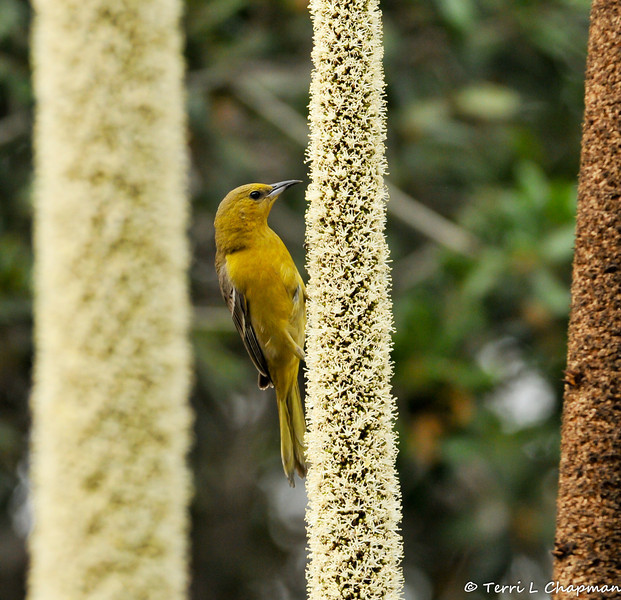 A female Hooded Oriole sipping nectar from a Grass Tree, which is native to Southern Australia