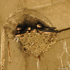 A nest of baby Barn Swallows underneath a bridge at the LA River