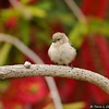 A male Bushtit perched in a Bottlebrush Tree