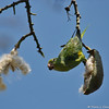 A Yellow-chevroned Parakeet eating the seeds out of a Floss Silk Tree pod