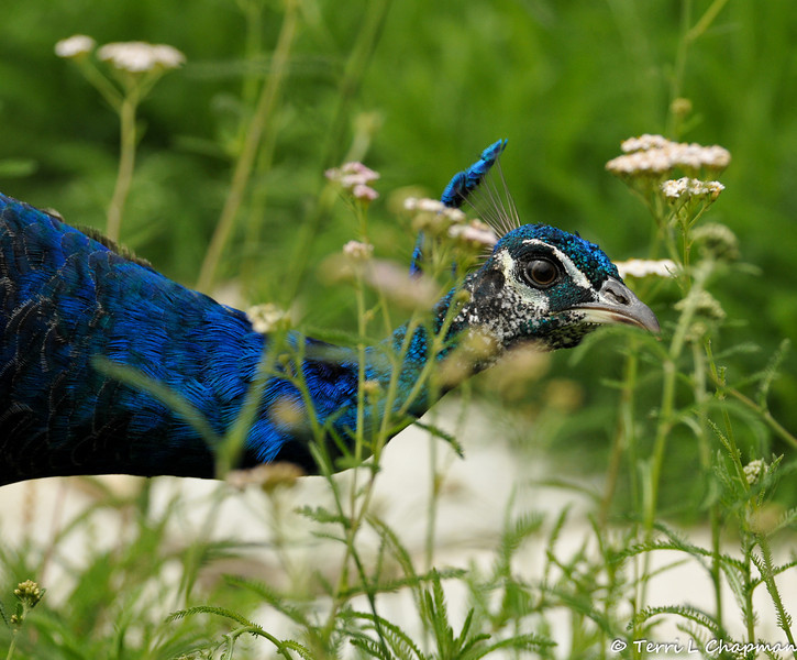 A young male Indian Peacock looking for bugs in a Yarrow field