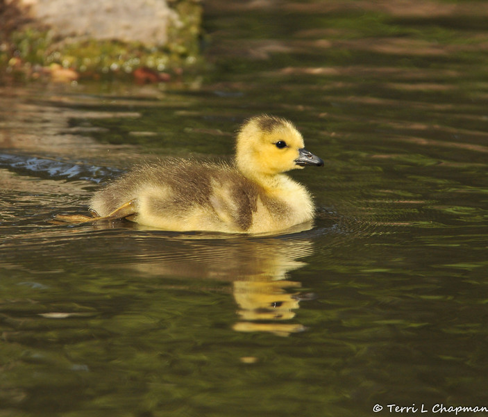A newborn Canada Goose gosling taking a swim