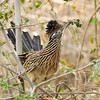 A Greater Roadrunner gathering nesting material