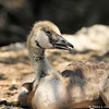 A Canada Goose Gosling taking a rest with its parents. This gosling is several weeks old and its plummage is changing.