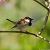 A male House Sparrow
