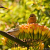 Two young female Hooded Orioles in a confrontation over a Century Plant