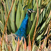 A male Indian Peacock amongst the Aloe plants