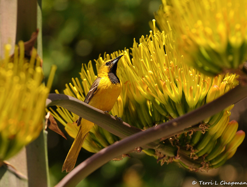 A young male Hooded Oriole on a Century Plant