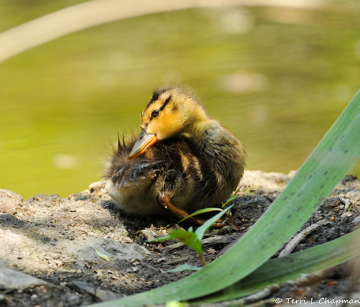 A Mallard Duckling grooming its feathers after taking a swim