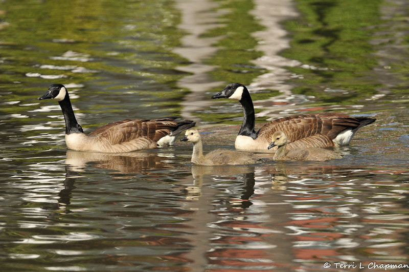 A Canada Geese family