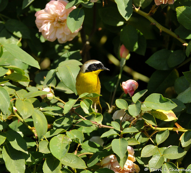 A Common Yellow-throat amongst the roses