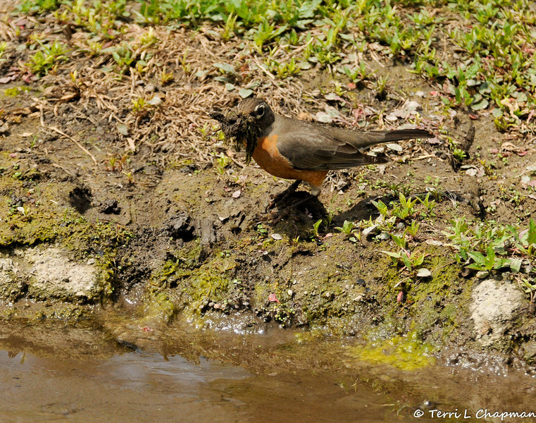 An American Robin gathering nesting material from the lake bed