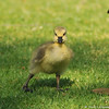 A newborn Canada Goose Gosling getting a footing on the grass.