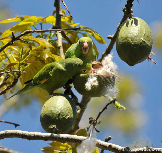 A pair of free flying Yellow-chevroned Parakeets eating the seeds out of a Floss Silk Tree pod
