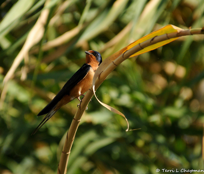 A male Barn Swallow on the bank of the LA River