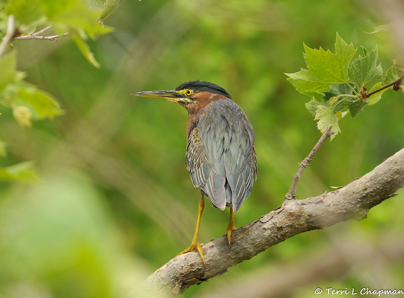A Green Heron perched in a Sycamore tree. This bird is often seen in or around water, so I loved seeing it in this tree with so much greenery surrounding it.