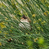 A fledgling Red-whiskered Bulbul hiding in a plant as it waits for his parents to come back with food