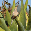 A Mourning Dove perched on an Aloe plant