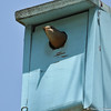 A female Western Bluebird getting ready to exit the nestbox after feeding her young